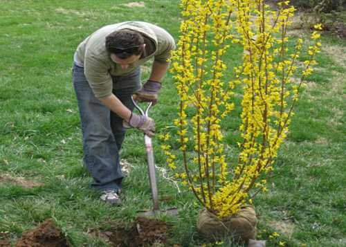 Растение неприхотливо, уход за ним не требует особой внимательности