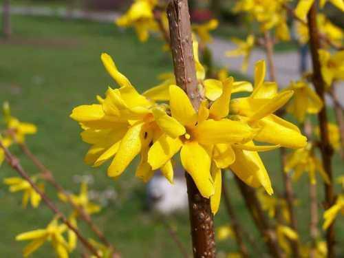Садят форзицию весной либо ранней осенью до заморозков
