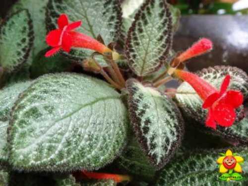 Эписция ползучая, Эписцию можно размножать семенами, черенками и дочерними розетками