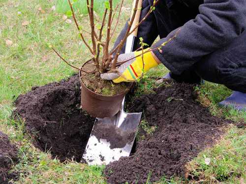 Осенью также почву вокруг кустов перекапываю, но уже поглубже и оставляю неразбитые комья, чтобы влага лучше задерживалась в ней