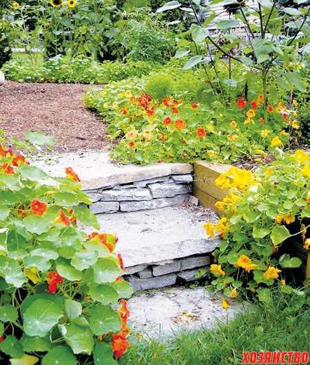 Настурция на вашем садовом участке