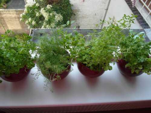 В домашних условиях падь скапливается вокруг растения, на его листьях и стебле , На рассаде перца заводится два вида тли
