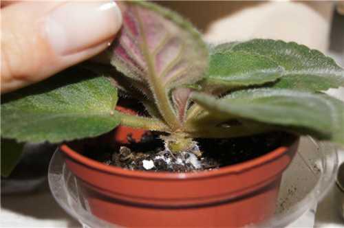 Способствует развитию заболевания высокая влажность и температура в помещении
