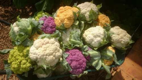 Цветная  капуста Выращивание цветной капусты