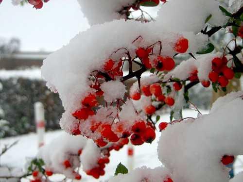 Если вы не посеяли холодо стойкие однолетники осенью, можно сделать это сейчас, если почва не промерзла мак, календула, васильки и др