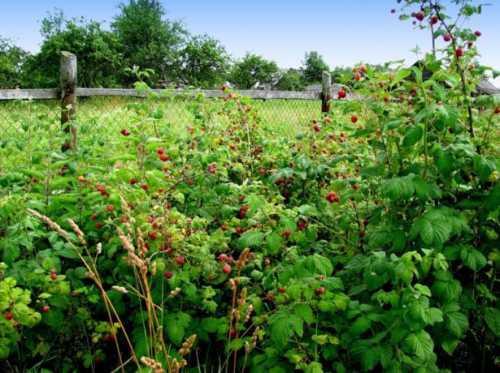 Ягода малина в вашем саду